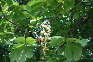 セイヨウトチノキ(マロニエ)の花